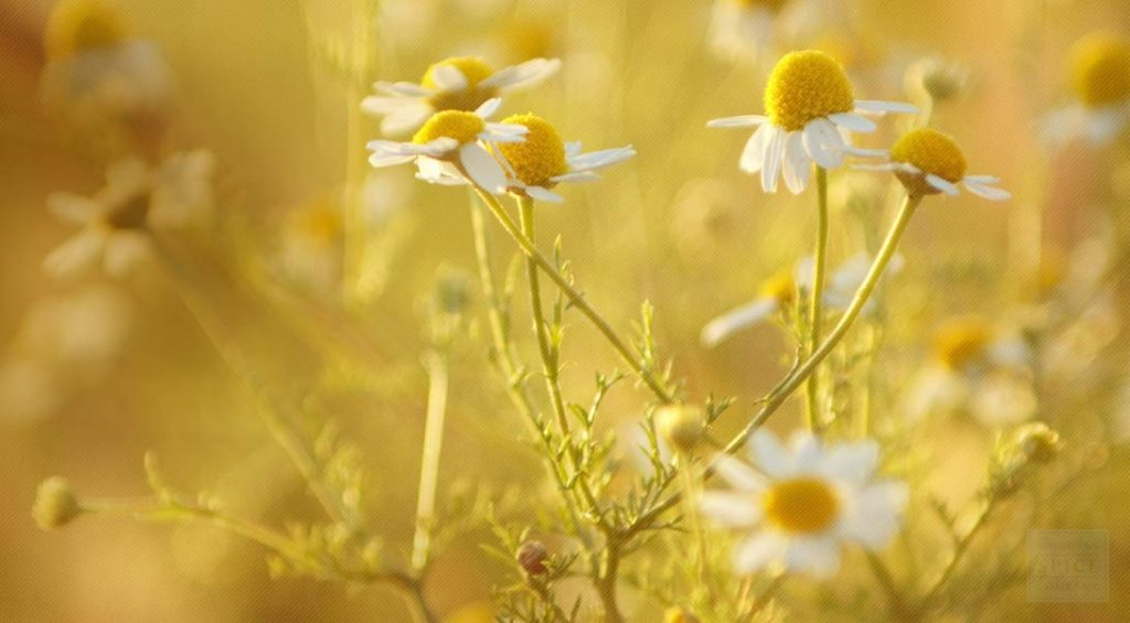 chamomile - natural muscle relaxers